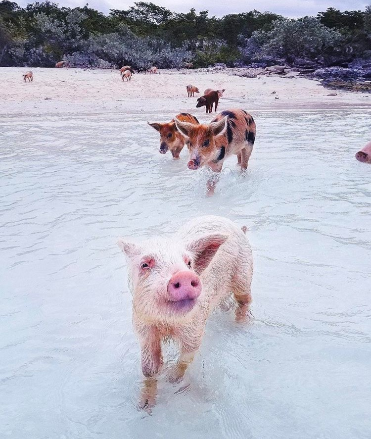 Bahamas Pig Beach