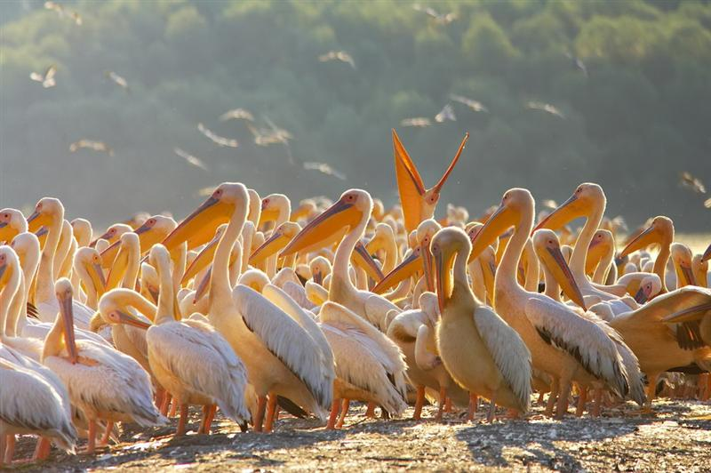 The largest colony of great white pelicans in Europe can be found in Danube Delta